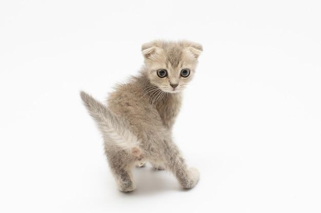 小さな子猫は白で孤立して振り返る