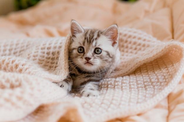 ベージュのニットスカーフに包まれた子猫。猫グッズショップ。