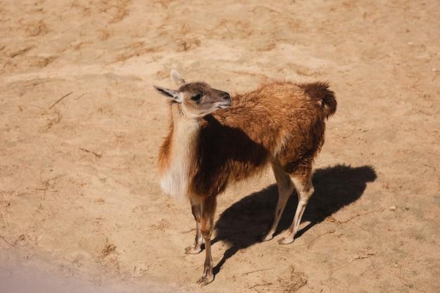 小さなラマが砂の上を歩く