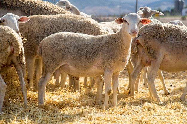 Little lamb on straw, small sheep, animals farm