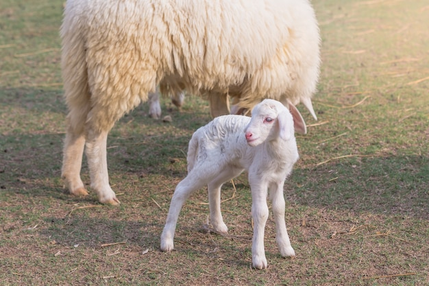 Little lamb was laid to rest in a farm field on