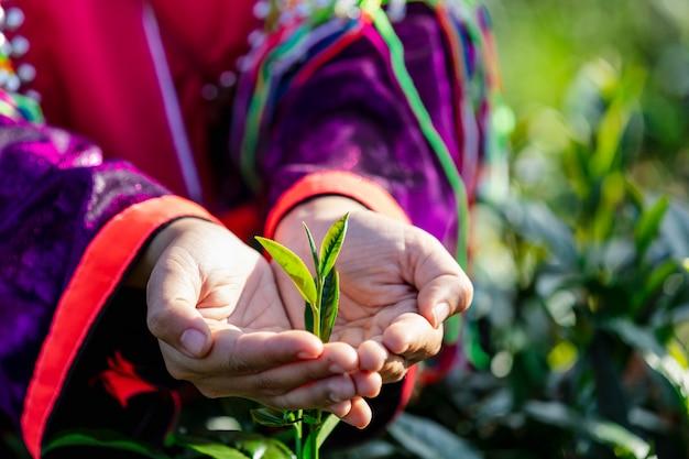 Маленькие листья зеленого чая на руках