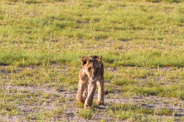 Маленький лев в саванне в кении