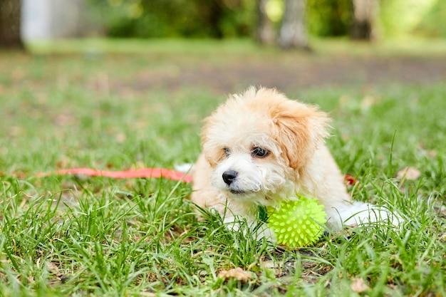 푸른 잔디에서 공을 가지고 노는 작은 maltipoo 강아지