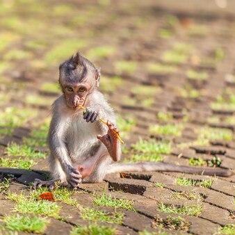 道に座って木の枝を噛む小猿の赤ちゃん