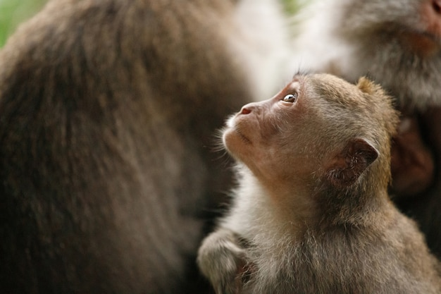 Маленькая обезьянка смотрит вверх. священный лес обезьян, убуд, индонезия