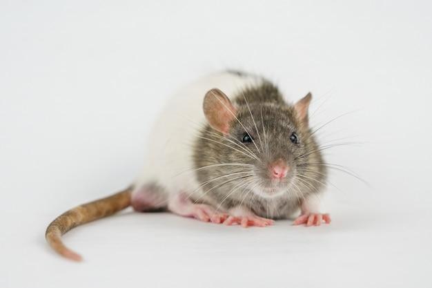 Little mouse close up