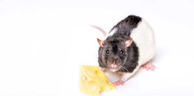 チーズを動かそうとしている小さなネズミ。チーズとマウス。白で分離されたスイスチーズのスライスを持つマウス。