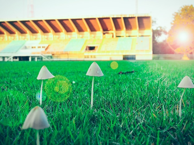 Little mushroom grown on football soccer lawn grass field with flare light