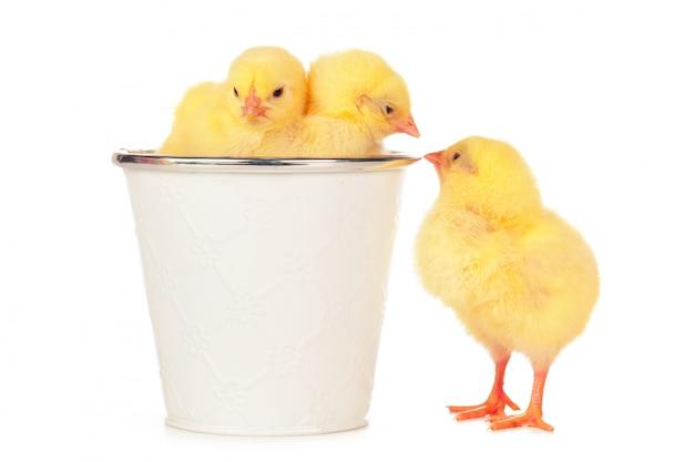 흰색 배경에 고립 된 작은 신생아 닭