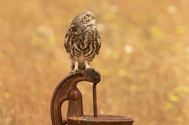 Маленькая сова на своем любимом насесте в свете последних вечерних огней позднего весеннего дня