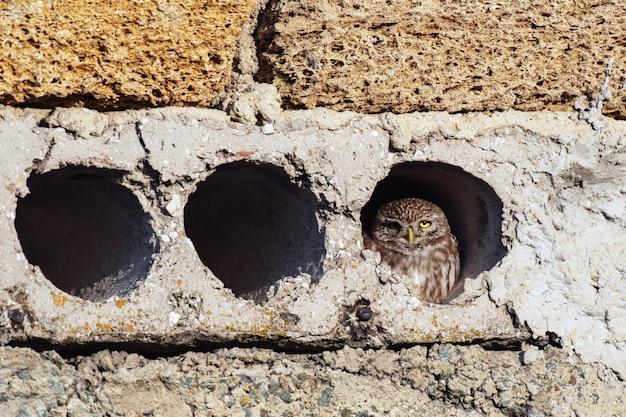 コキンメフクロウのathenanoctuaは彼女の穴の外を見ています。