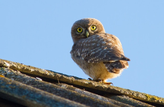 Little owl, athene noctua. a bird sits on an old roof. young owl