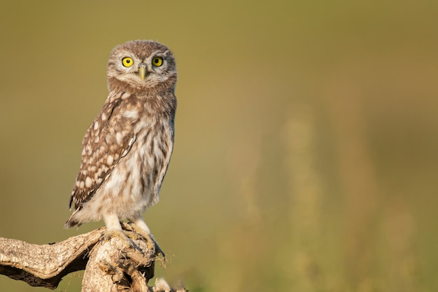 Little owl athene noctua. close up, on a beautiful background.