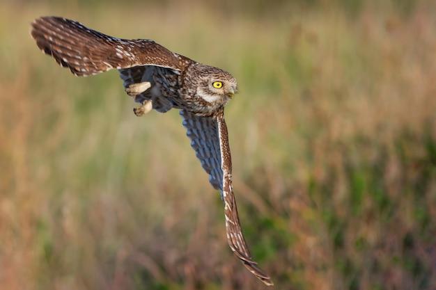 飛行中の小さなフクロウアテネnoctua