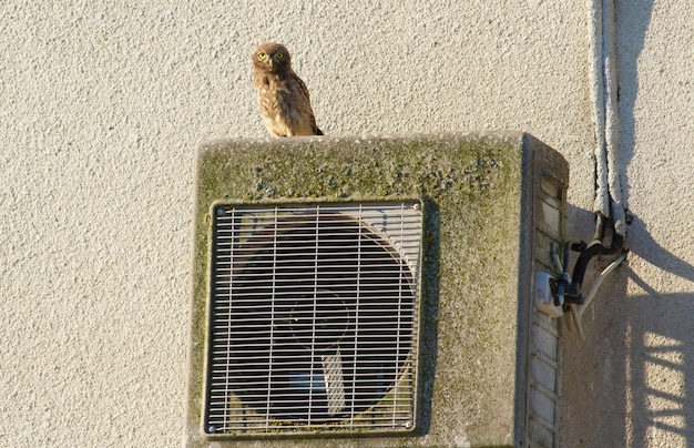 Little owl, athene noctua. an owl sits on an air conditioner that is mounted on the wall of an old house