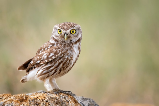 Little owl (athene noctua) sitting on a stone and looks forward