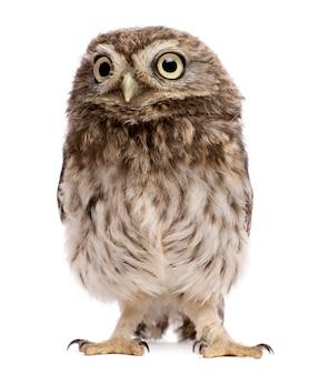 Little owl athene noctua, standing