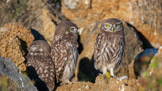 The little owl athene noctua, three lovely young owls are sitting at their burrow.