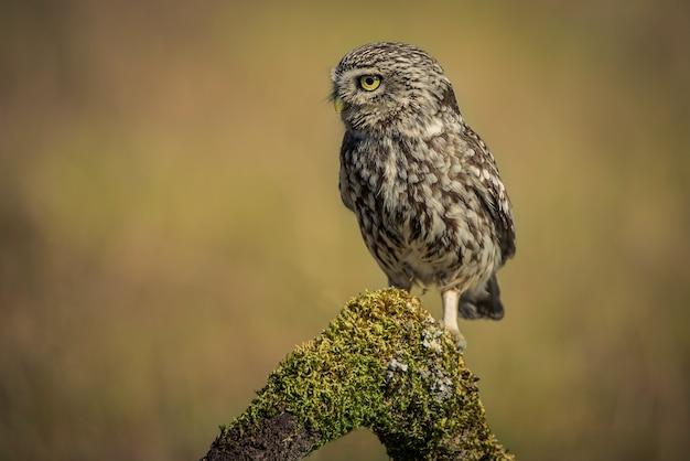 Little owl athene noctua