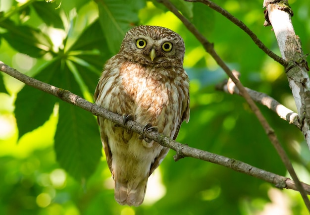 Little owl. the bird sits on a branch and carefully looks into the eyes. athene noctua