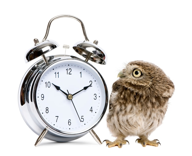 Little owl in front of a white background with alarm clock