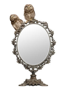 Little owl in front of a white background with a mirror
