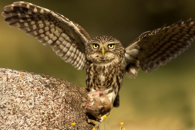 작은 올빼미 사냥 필드 마우스 오후의 마지막 불빛, 랩터, 새, 올빼미, athene noctua