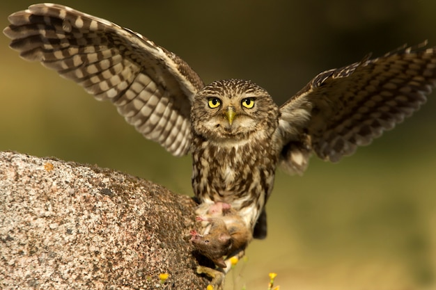 Little owl hunting a field mouse the last lights of the afternoon, raptor, birds, owls, athene noctua