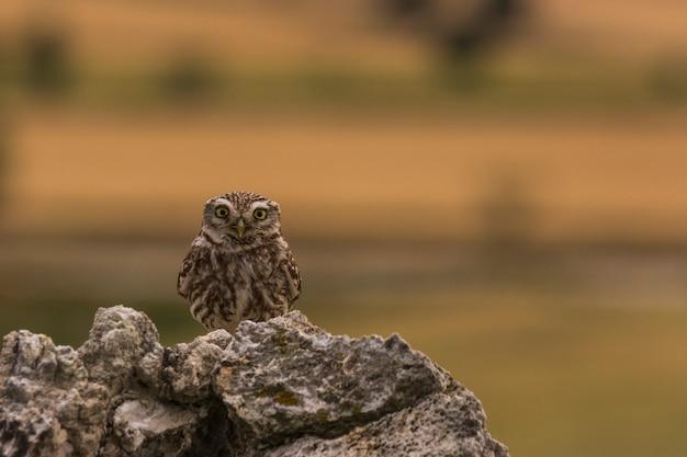 Little owl in montgai, lleida, catalonia, spain
