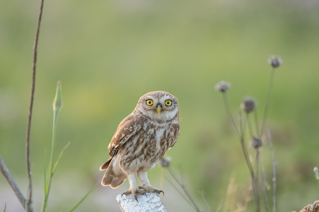 The little owl in natural habitat athene noctua.