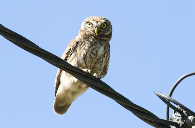 Little owl perched on an electrical cable