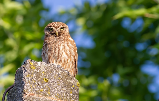 Little owl sits on a concrete support on a background of trees