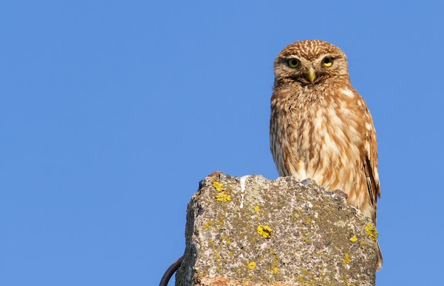 Little owl sits on a concrete support