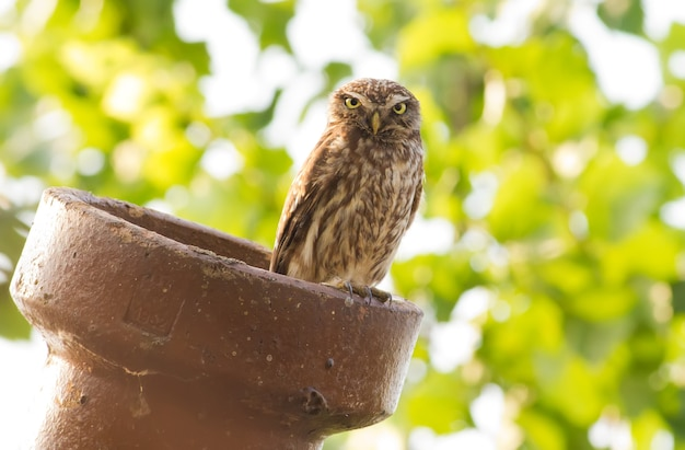 Little owl sits on a pipe Premium Photo