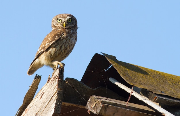 Little owl sits on the roof of the house
