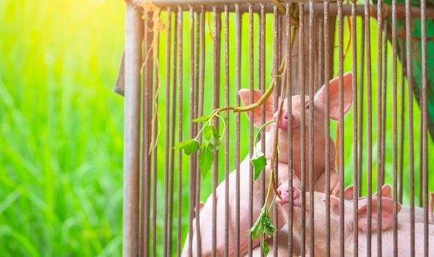 농장에서 작은 돼지. 작은 분홍색 새끼 돼지