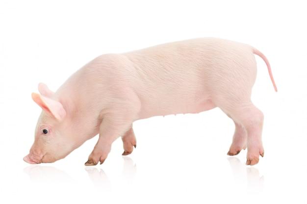 Маленькая свинья, изолированная на белом