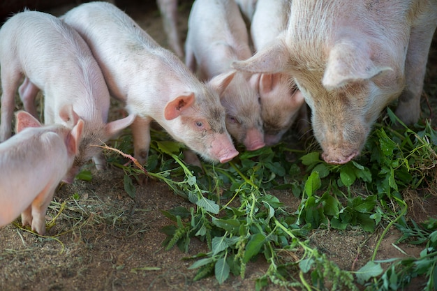 Little pigs eat a grass in the pigsty with a sow
