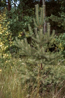 Little pine tree in the forest in summer time in northen wood of russia