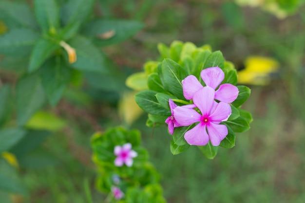 Маленькие розовые цветы в утреннее время