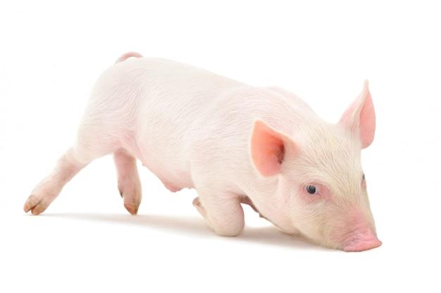 Маленькая розовая свинья изолирована
