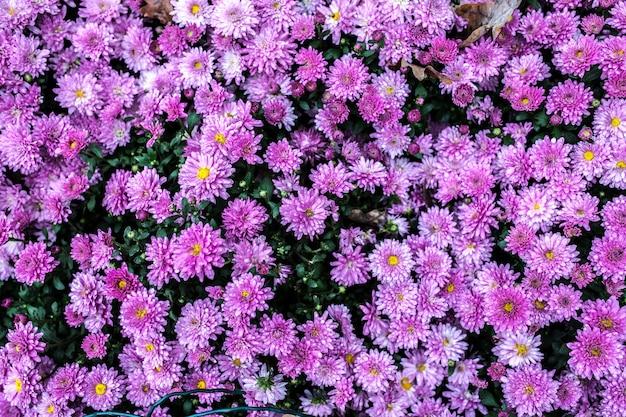 Little pink purple mum up close background