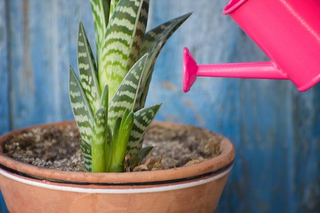 小さなピンクの水まきと多肉植物。青いビンテージ背景