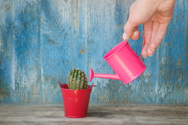 Little pink watering can in a female hand watering cactus. old wooden background