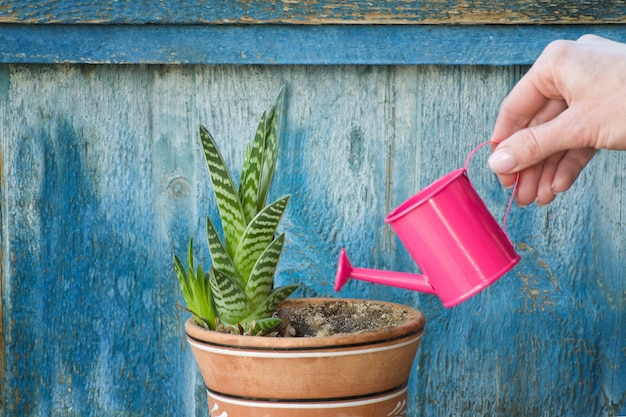 Little pink watering can in a female hand watering succulent. old wooden background