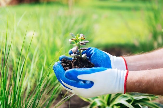 小さな植物。園芸が好きな間、彼の手に小さな緑の植物を持っている白と青の手袋を着用した男