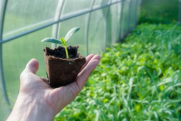 温室に植える準備ができている有機カップの小さな植物の芽
