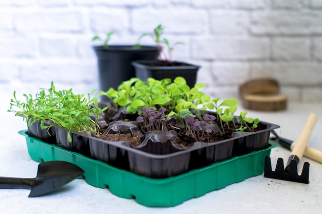 Little plant sprouts in black plastic grow box