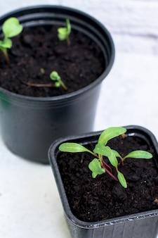 黒いプラスチックの成長ボックスに小さな植物の芽